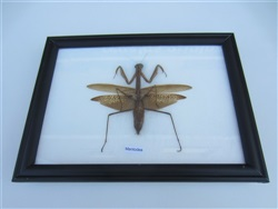 Insecto mantidae